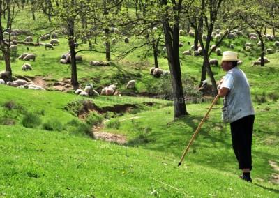 Felician Sateanu - Ciobanul si turma lui - Posta